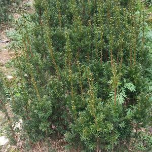 红豆杉出售