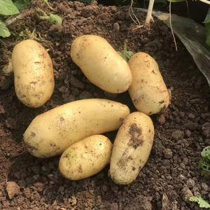 在我处土豆即将上市!质量好个大量足欢迎新老客户前来订购!