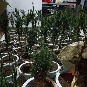 大量出售红豆杉树苗,联系电话18981197103