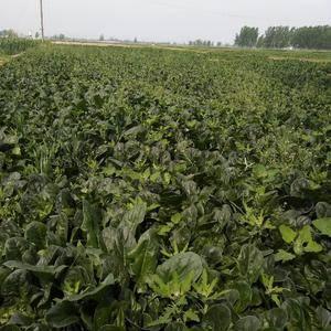 大量菠菜上市 数量:50亩菠菜收货期 地点:山东省菏...
