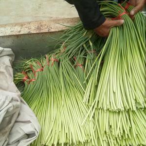 金乡优质红帽蒜苔现在已经大量上市直接递,有想储存和发市场的朋友...