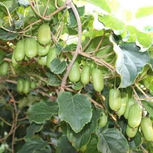 我司大量供应软枣猕猴桃树苗(两年生)道士,品种有魁绿汤、泽S1...