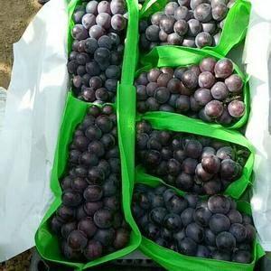 大量出售巨峰葡萄,8月中旬上市