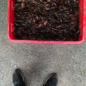 优质大,中,小,淡水青虾供应,个大肉肥品质高口味好,欢迎...
