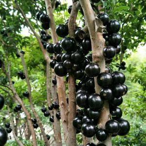 树葡萄树台湾品种挂果出售,当盆栽还可以有果子吃,1米--...
