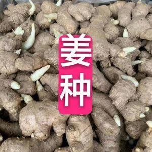 15853904260常年供应姜种♥大黄姜✔小黄姜✔姜母...