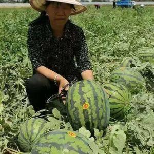 五月二十号,陕西蒲城的甜王大量上市,六月初金城五,黑无籽...