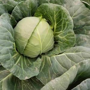 唐山 甘蓝5月上市,目前白菜大量供应中,需要的联系156...