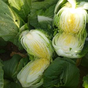 春天黄心白菜大量上市了有需要的客户请联系我