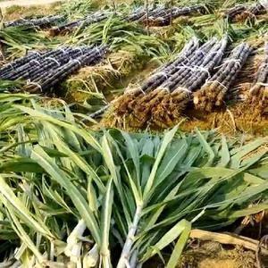 黑皮甘蔗每年8.9月份上市15307830551