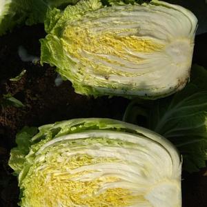 黄心白菜大量上市有需要的客户请联系