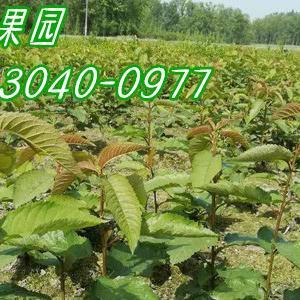 大樱桃苗,四川亲亲果园农业合作社是优良品种科研、生产、繁...