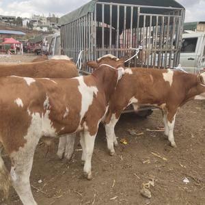 有买牛的联系我电话13312485802微信同号