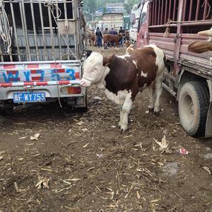 有买牛的联系我什么牛都有电话13312485802