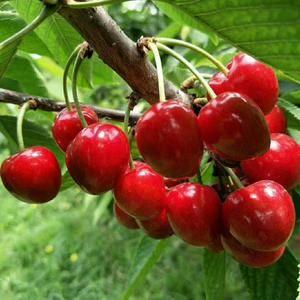 陕西樱桃大量上市,有美早,早大果,红灯樱桃,货源充足有需...