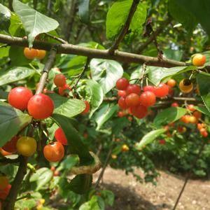贵州大山区樱桃,干净无污染,无农药