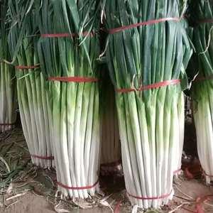 山东章丘市是闻名全国的大葱繁育、种植基地,大葱种植技术全...