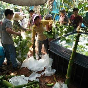 现有大量海南干净,把型好的香蕉,长期代收香蕉138766...