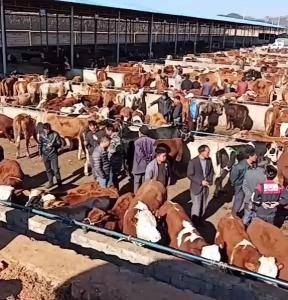 有需要买牛的联系,什么牛都有电话15086395072