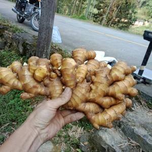 福建德化优质小黄姜长期有货
