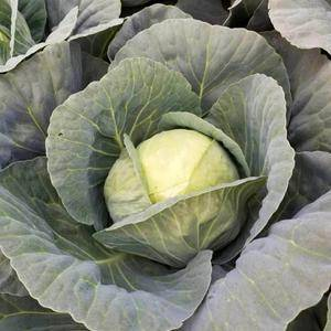 唐山甘蓝菜,大量开始供应。15633311107