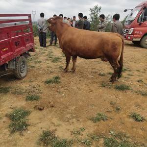有买牛的联系什么牛都有电话13312485802