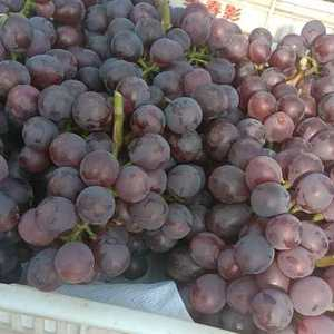 优质红无核葡萄大量上市中