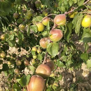 大荔金太阳和丰源红杏大量上市了
