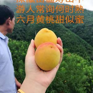湖南麻阳高山富硒长寿黄桃大量供应,微信电话同步18674...
