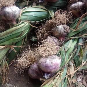 临清辫子蒜本月十五号开始上市,有要的联系,本人在蒜市场收...