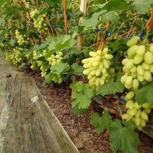 维多利亚葡萄大量上市供应