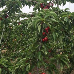 肉质鲜美的大樱桃,欢迎大家来采购电话1309761944...