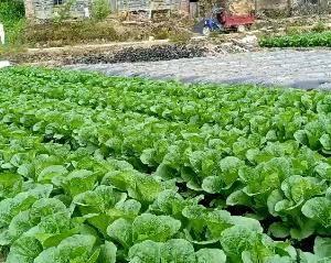 高山白菜 纯绿色蔬菜基地 叶绿,口感好,味道佳!欢迎前来...