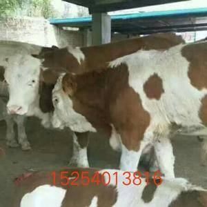 大量供应肉牛肉驴。15254013816