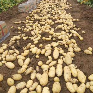 山东安丘露天土豆大量上市,欢迎新老客户前来考察.洽谈,我...