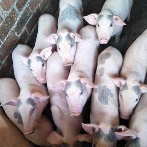 长期供应优良仔猪,欢迎惠顾!