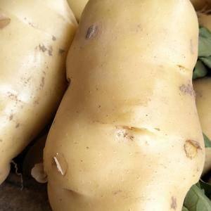 土豆大量上市中,欢迎各位老板骚扰,13460708456