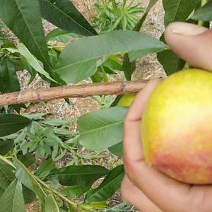 宜城油桃,毛桃已上市了