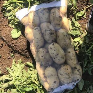 唐山 铁头甘蓝 荷兰土豆,早大白,大量供应中需要联系