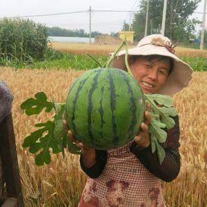 江苏徐州大棚京欣大量上市。纯沙土地种植。皮毛瓜型有保证。...