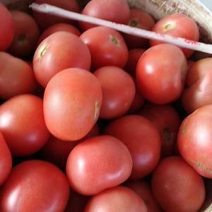 大量硬粉西红柿上市
