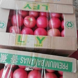 河南安阳硬粉西红柿大量上市!三弧以上!亮度好!!硬度好!...