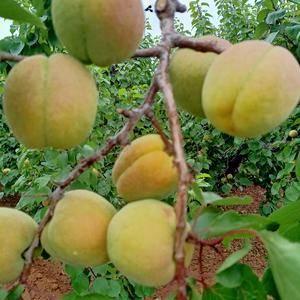 凯特杏,质量好,口感酸甜可口13589670926