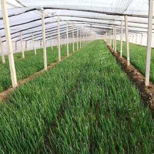 优质铁杆葱苗大量出售,常年孕育葱苗,价格低廉,根系发达产...