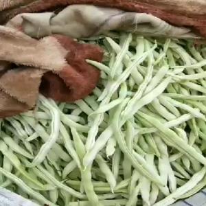 白不老架豆大量上市中,河北省邯郸永年南大堡蔬菜市场(张氏...