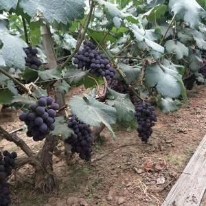 大量红无核葡萄以上巿,价格便宜,质量好,有需要的联系