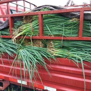 优质铁杆葱苗大量出售,下雨天客户自己开车来拔葱苗,葱苗相...