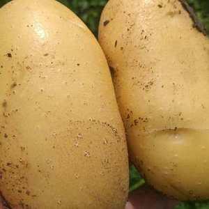 山东荷兰十五土豆,货源充足,质量优,价格低1586396...
