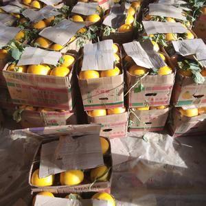大量供应久红瑞香瓜,欢迎广大客户前来收购