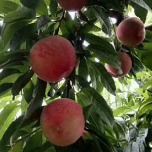 这里桃子品种多,口味甜,有喜欢的客户可以来我们蒙阴考察